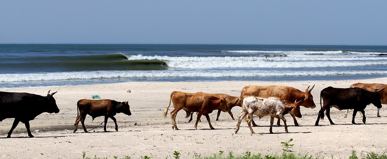 vacas senegal surf